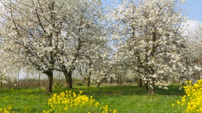 Blooming fruit orchard in spring